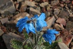 Цветок на Тибете Стоковое фото RF