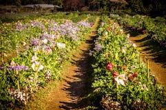 Цветок на Чиангмае Стоковое фото RF
