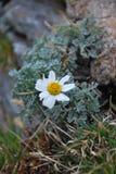 Цветок на Kajmakcalan Стоковые Изображения RF