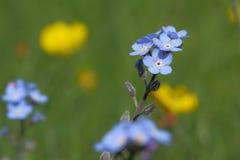 цветок незабудок или трав скорпиона Стоковая Фотография RF