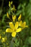 цветок немногая желтый цвет Стоковое Изображение RF