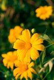 Цветок ноготк дерева Стоковые Изображения
