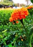 Цветок ноготк стоковое фото rf