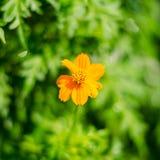 Цветок ноготк на зеленых листьях Стоковое Фото