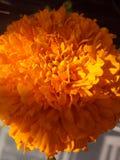 Цветок ноготк стоковая фотография rf
