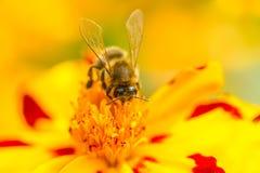 Цветок ноготк пчелы опыляя (Tagetes) Стоковая Фотография