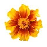 Цветок ноготк Стоковые Изображения RF