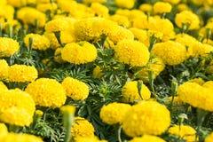 Цветок ноготк стоковое изображение