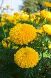 Цветок ноготк Стоковая Фотография