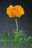 Цветок ноготк (Tagetes Erecta) на серой предпосылке Стоковые Фотографии RF