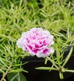 Цветок общего портулака Стоковое фото RF