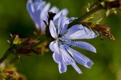 цветок общего цикория цветеня Стоковые Фотографии RF