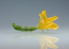 цветок огурца малый Стоковые Фотографии RF