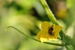 Цветок огурца Стоковая Фотография