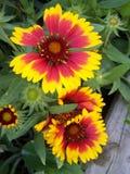 Цветок одеяла - близкое поднимающее вверх Стоковые Изображения