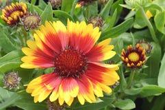цветок одеяла зацветая стоковая фотография rf