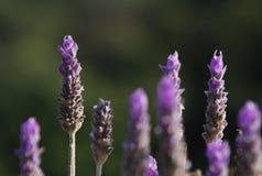 Цветок одичалого Розмари Стоковая Фотография RF
