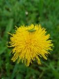 Цветок одуванчика и зеленый молодой кузнечик стоковое изображение rf
