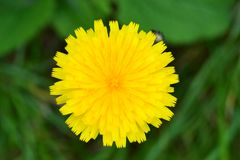 Цветок одуванчика как солнце стоковое изображение rf
