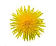 Цветок одуванчика на белой предпосылке Стоковые Фотографии RF