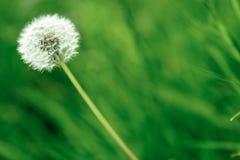 цветок одуванчика одиночный Стоковые Изображения