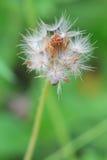 Цветок одуванчика пушистый Стоковые Изображения