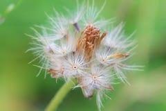 Цветок одуванчика пушистый Стоковое Фото