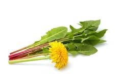 Цветок одуванчика с листьями в изолированной пачке Стоковое Изображение