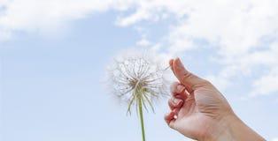 Цветок одуванчика удерживания руки указывая на голубое небо стоковое фото