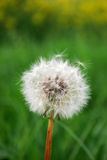 цветок одуванчика Стоковое Изображение