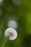 цветок одуванчика Стоковая Фотография RF