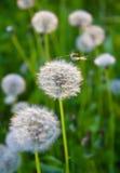 цветок одуванчиков Стоковое Изображение RF