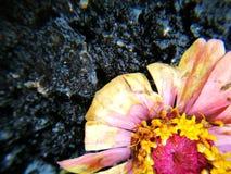 Цветок ожидающий решения для вянуть после дождя Стоковые Изображения RF
