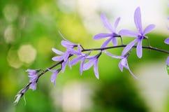Цветок лозы венка ферзя (фиолетовый цветок венка, лоза шкурки Стоковое Изображение