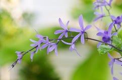 Цветок лозы венка ферзя (фиолетовый цветок венка, лоза шкурки Стоковая Фотография