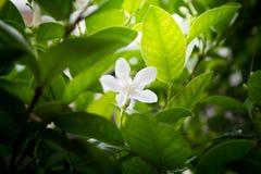 Цветок лозы жасмина белый с светом в утре Стоковые Фотографии RF