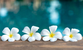 Цветок около бассейна, курорт тропического frangipani белый цветка Стоковые Фото
