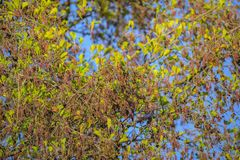 цветок ольшаника стоковая фотография