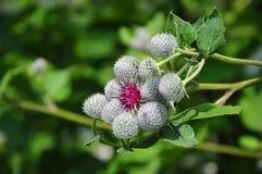 Цветок лопуха Стоковое Изображение