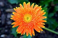 Цветок оранжевой маргаритки с дождевыми каплями стоковое фото