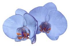 Цветок орхидеи голубой изолированный на белой предпосылке с путем клиппирования closeup голубой цветок фаленопсиса с апельсин-фио Стоковые Фото