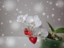 Цветок орхидеи дня валентинок сердец красный белый Стоковое Изображение