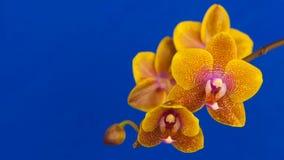 Цветок орхидеи зацветая на голубой предпосылке сток-видео