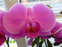 Цветок орхидеи на окне стоковое фото rf