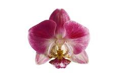 Цветок орхидеи вишни на белой предпосылке Стоковое Фото