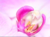 Цветок орхидеи макроса розовый Стоковое Изображение RF