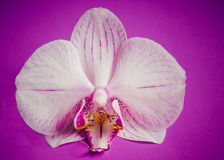 Цветок орхидеи на фиолетовой предпосылке Grunge Стоковые Изображения RF