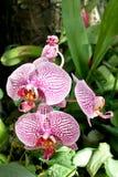 Цветок орхидеи орхидеи живой фиолетовый тропический Стоковое Фото