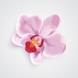 Цветок орхидеи розовый также вектор иллюстрации притяжки corel Стоковое фото RF