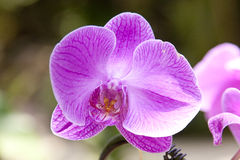 Цветок орхидеи сирени стоковая фотография